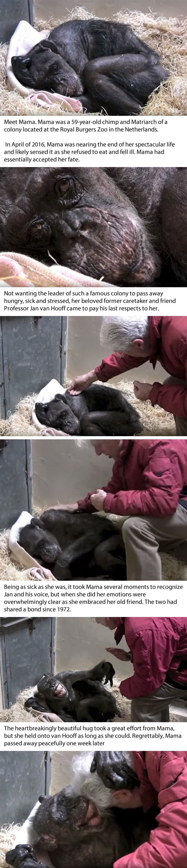 Dying 59 y/o chimp recognises her old caretaker's voice