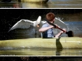 Swan with swag