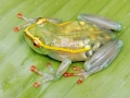 Transparent pregnant frog