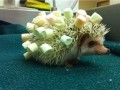 Hedgie's new haircut