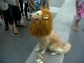 Believe me, I'm a lion!