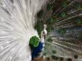 Half Albino Peacock