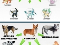 Corgis-Pokemon of Dog World