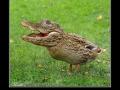 It�s Crocoduck you fools!