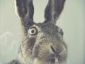 Sudden clarity rabbit