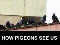 How we see pigeons