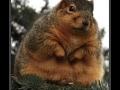 Squirrelius Americanus