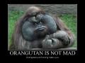 Orangutan is not mad