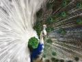 Half white peacock