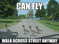 Why I hate geese