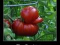 An ordinary tomato