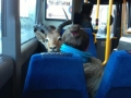 Saw a goat on a bus