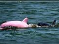 Albino Dolphin