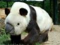 Rhinocepandarrot