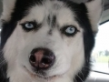 Funny Husky faces