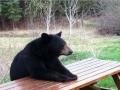 Human bears everywhere