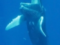 Hearty Laugh Whale Pun