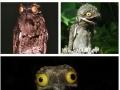 Meet the common Potoo