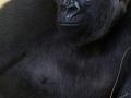 Most interesting gorilla