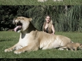 World's Largest Liger