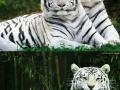 Heard you like tigers