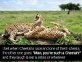 The Cheetahs Jokes