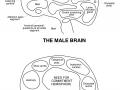 Male & Female Brain