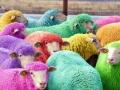 Freshly dyed sheep