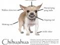 Anatomy of a chihuahua
