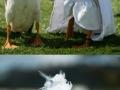 A farmer and his ducks