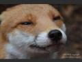 Foxes are misunderstood