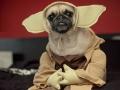 Pugs win at Halloween