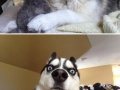 Huskies are funny dogs