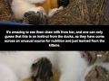 The cat who adopted ducks