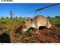 Rats are saving lives