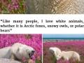 Polar bears playing in fields