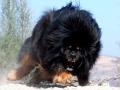 Tibetan mastiff, enough said