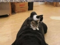 Cats using dogs as pillows
