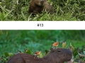 Capybara can befriend every other species