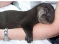 Baby otters are too otterable!