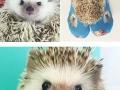 Huff the vampire hedgehog