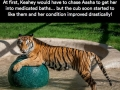 Sick tiger cub gets rescued from circus