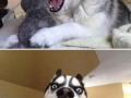 Funny husky expressions