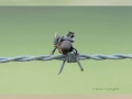 Bird picks up bugs and impales them on barbed wire