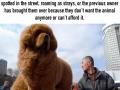 Over 5,000 Tibetan Mastiffs abandoned in China