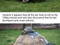 Tortoise has to be fitted with wheels