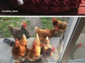 Cat doesn't understand why chicks are so obsessed with him