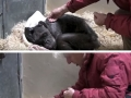 Dying 59 y/o chimp recognises her old caretaker�s voice