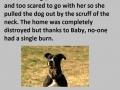 Why pitbulls are misunderstood
